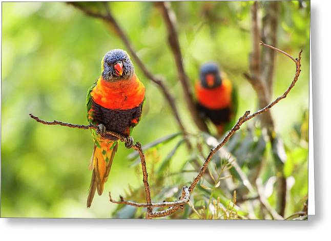 Greeting Card featuring the photograph Rainbow Lorikeets by Rob D Imagery