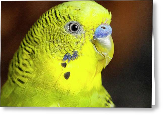 Portrait Of Budgie Birds Greeting Card