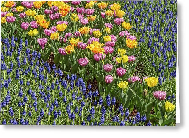 Tulips, Skagit Valley Tulip Festival Greeting Card by Adam Jones