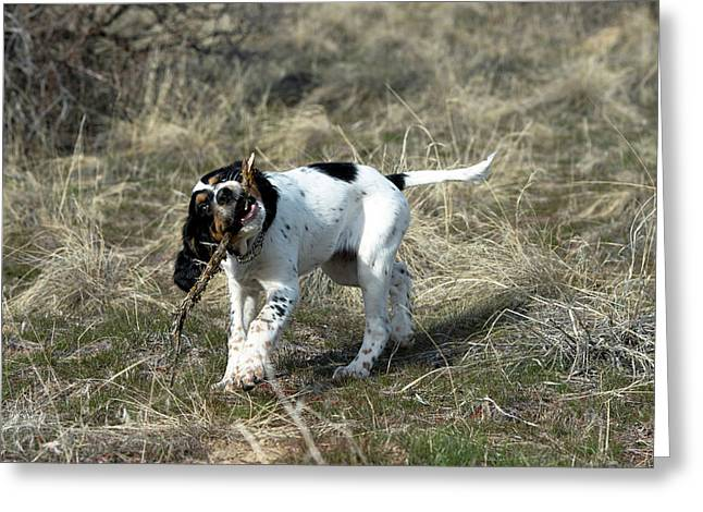 English Setter Puppy, 14 Weeks Greeting Card by William Mullins