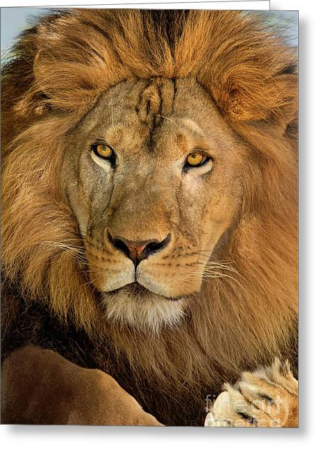 656250006 African Lion Panthera Leo Wildlife Rescue Greeting Card