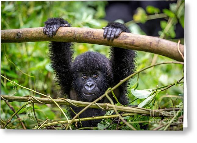 A Baby Gorila Inside The Virunga Greeting Card