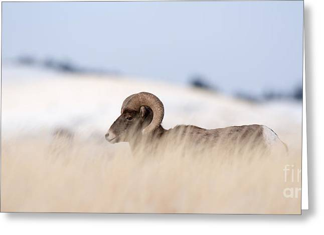 A Big Horn Sheep Ram Walking From The Greeting Card