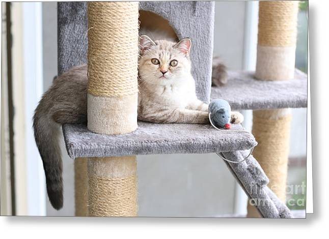 A Cat Is Playing With Toy On Cat House Greeting Card