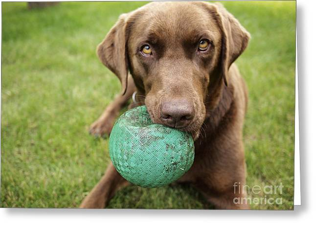 A Chocolate Labrador Holds A Green Ball Greeting Card