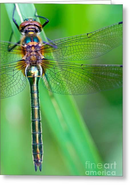 A Dragonfly Cordulia Aenea Warming Its Greeting Card