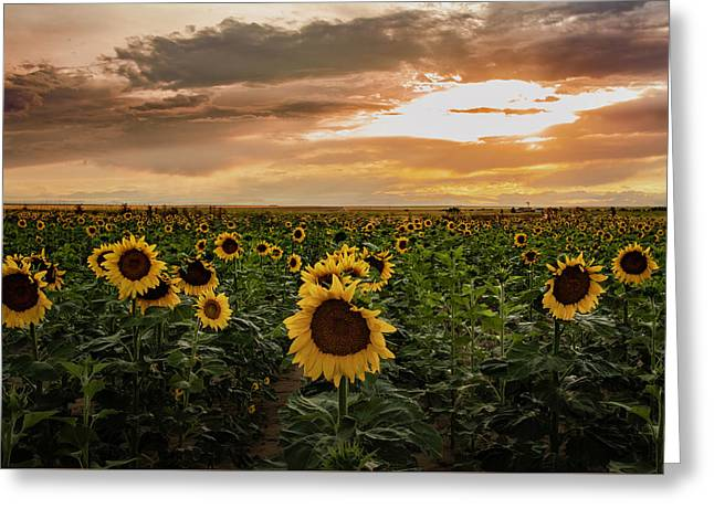 A Field Of Sunflowers At Sunset Greeting Card