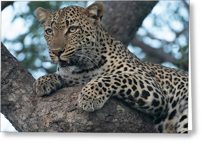 A Focused Leopard Greeting Card