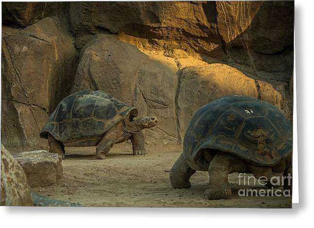 A Giant Galapagos Turtles On A Walk Greeting Card