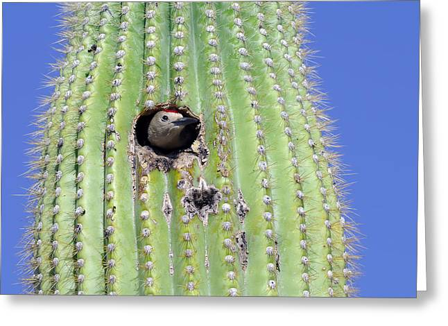 A Gila Woodpecker Sticking Its Head Out Greeting Card