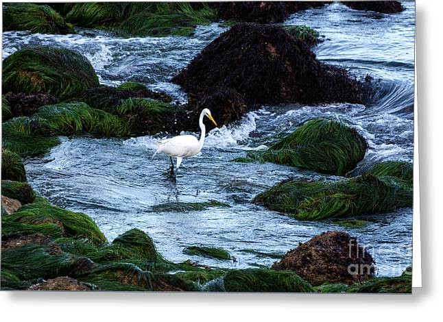 A Great Egret Watches The Incoming Tide Greeting Card
