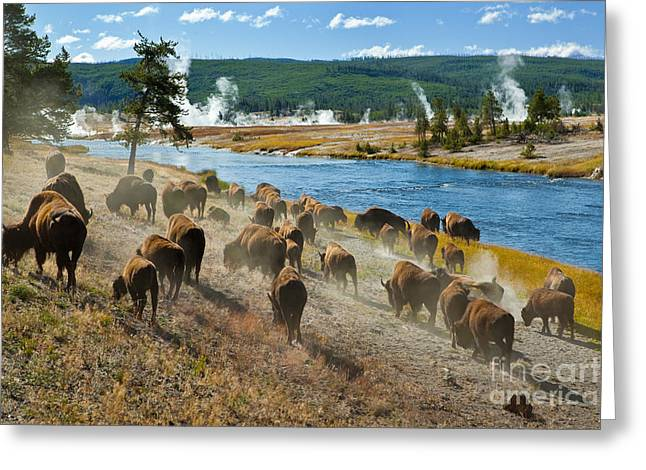 A Herd Of Bison Moves Quickly Along The Greeting Card