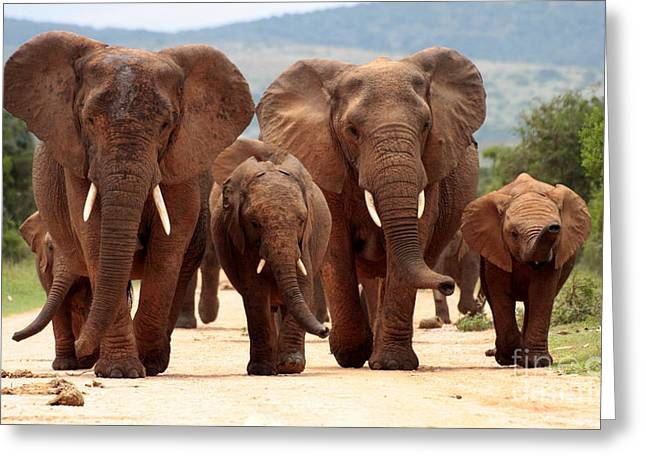 A Herd Of Elephant Walk Towards The Greeting Card
