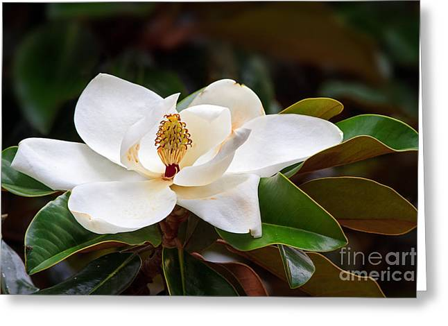 A Large, Creamy White Southern Magnolia Greeting Card
