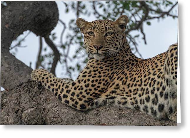 A Leopard Gazes From A Tree Greeting Card