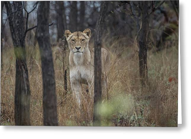 A Lioness In The Trees Greeting Card