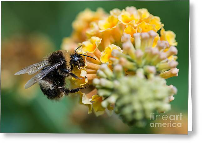 A Macro Shot Of A Bumblebee Enjoying Greeting Card