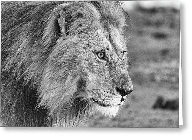 A Monochrome Male Lion Greeting Card