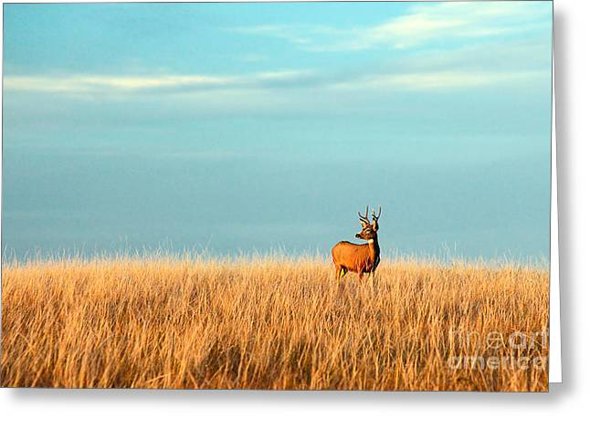 A Mule Deer Buck Stands In A Tall Bed Greeting Card