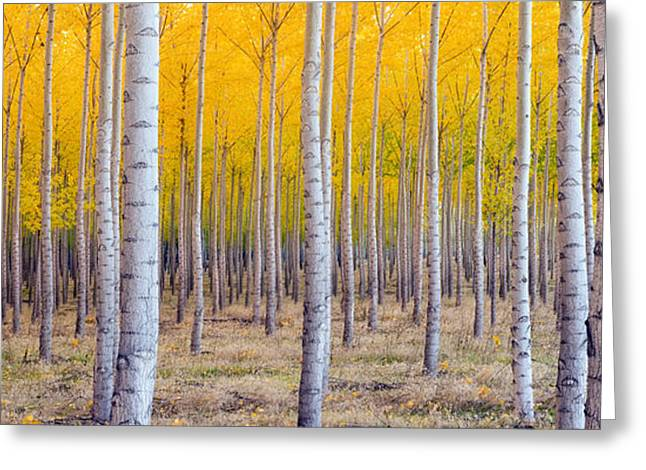 A Stand Of Trees Begins To Weather Fall Greeting Card by Christopher Boswell