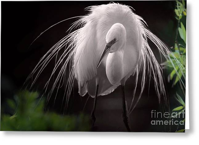 A Touch Of Class - Great Egret With Plumage Greeting Card