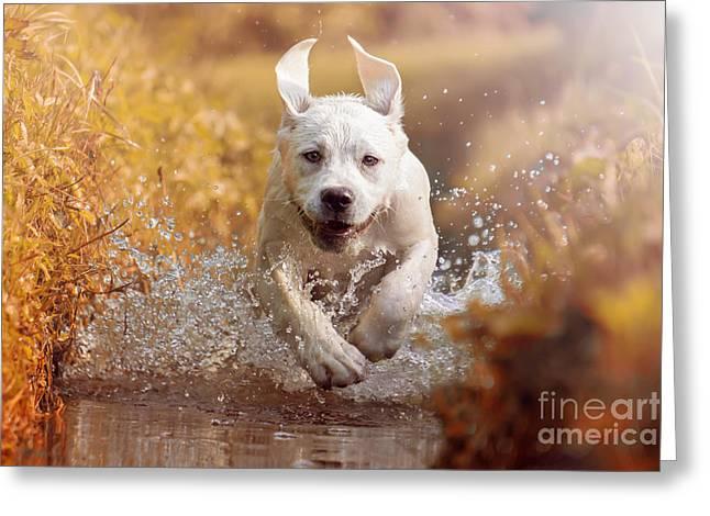 A Young Labrador Retriever Dog Is Greeting Card