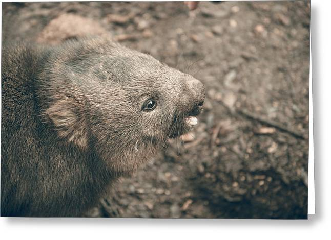 Greeting Card featuring the photograph Adorable Large Wombat During The Day Looking For Grass To Eat by Rob D Imagery