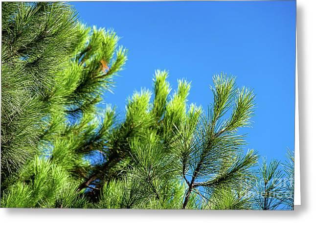Adriatic Pine Against Blue Sky  Greeting Card