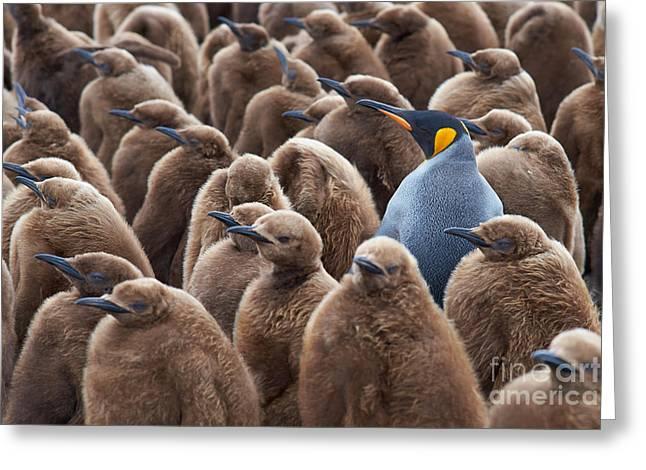 Adult King Penguin Aptenodytes Greeting Card