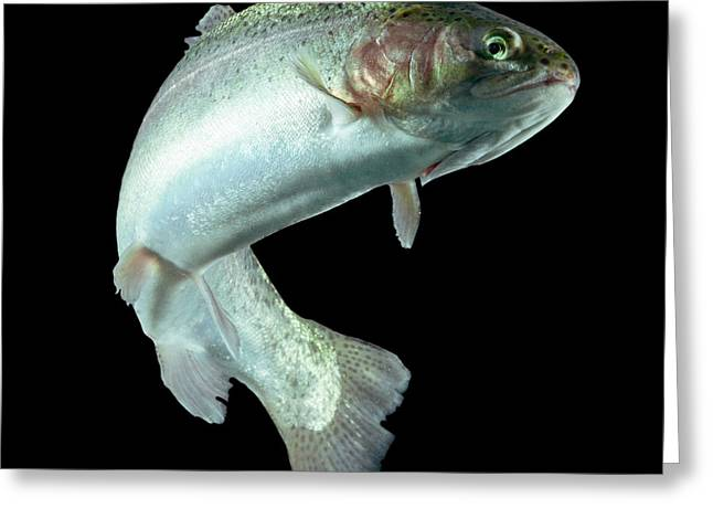 Adult Trout Fish Isolated On Black Greeting Card