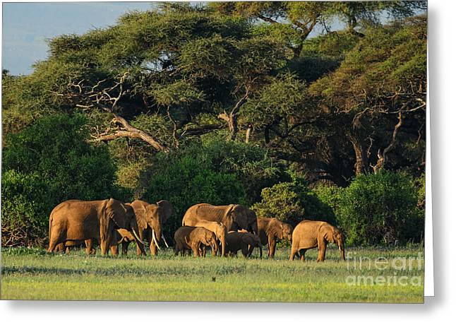 African Bush Elephant - Loxodonta Greeting Card