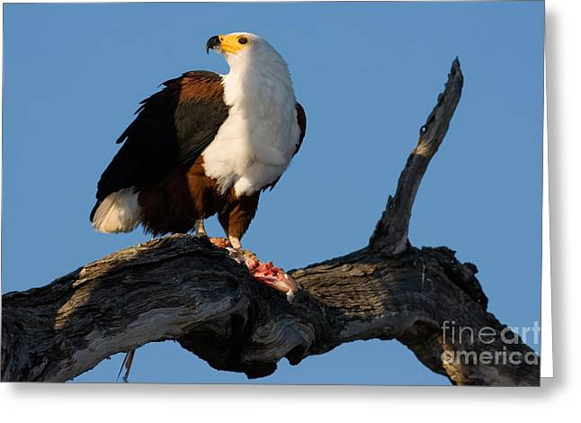African Fish Eagle Haliaeetus Vocifer Greeting Card