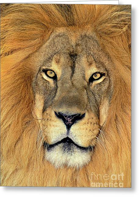 African Lion Portrait Wildlife Rescue Greeting Card