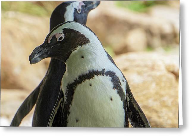 African Penguins Posing Greeting Card