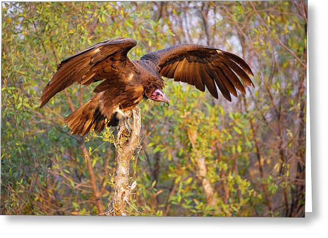 Greeting Card featuring the photograph African Vulture by John Rodrigues