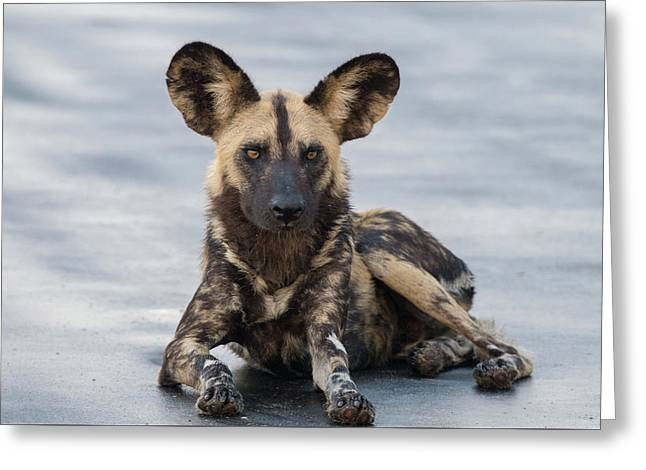 African Wild Dog Resting On A Road Greeting Card
