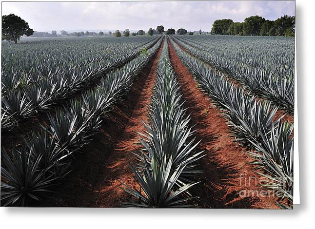 Agave Field For Tequila Production Greeting Card