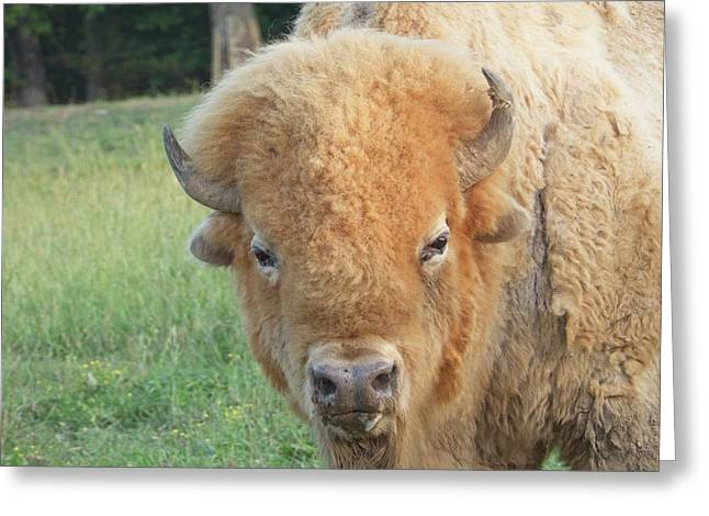 Albino American Buffalo Bull After Roll In Red Dirt Greeting Card