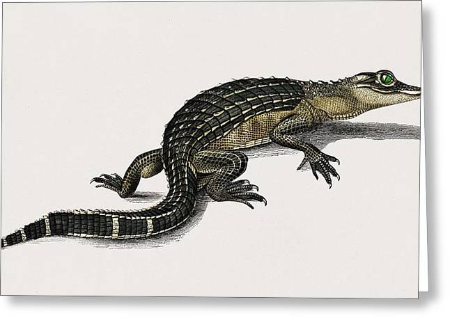 Alligator  Alligator Incius Illustrated By Charles Dessalines D' Orbigny  1806-1876  Greeting Card