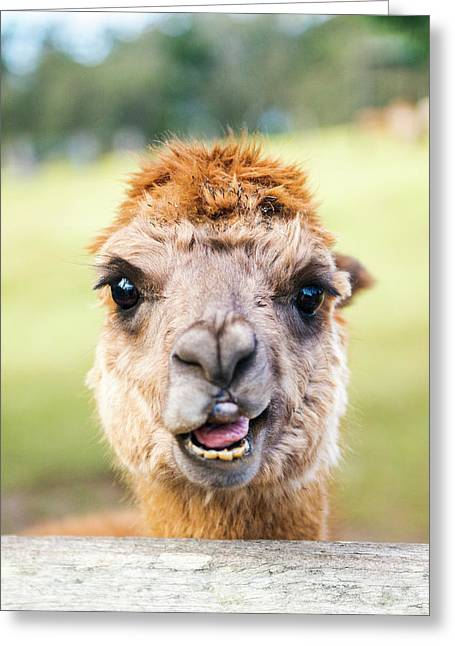 Greeting Card featuring the photograph Alpaca by Rob D Imagery