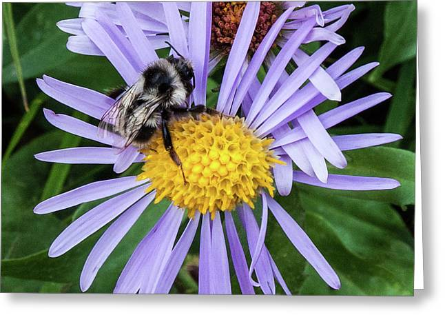 Greeting Card featuring the photograph Alpine Aster At Glacier National Park by Lon Dittrick