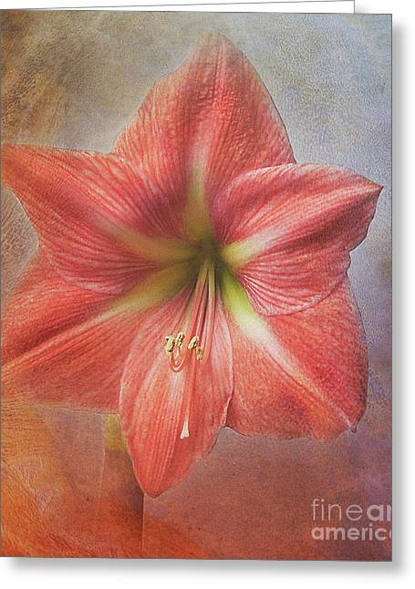 Amaryllis 'terra Cotta Star' Greeting Card