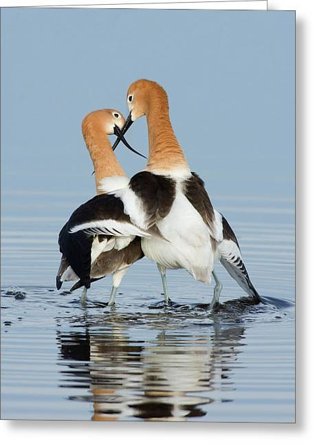 American Avocets, Courtship Dance Greeting Card by Ken Archer