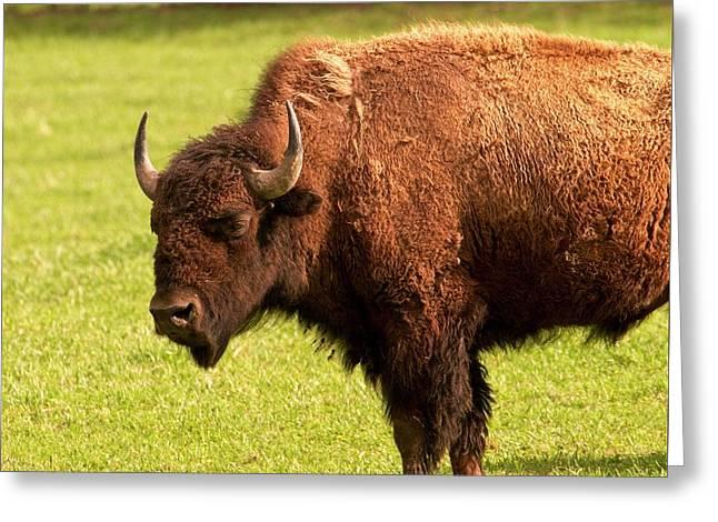 American Bison Bull Greeting Card