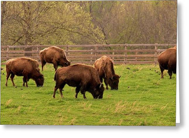 American Bison Grazing In Field In Tennessee Greeting Card