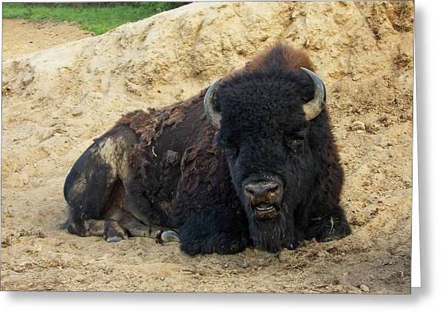 American Buffalo Resting In The Evening Light Greeting Card