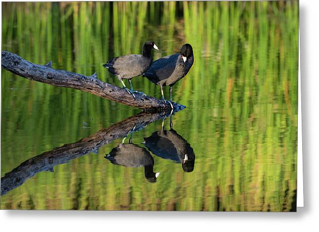 American Coot In Pond Greeting Card by Larry Ditto