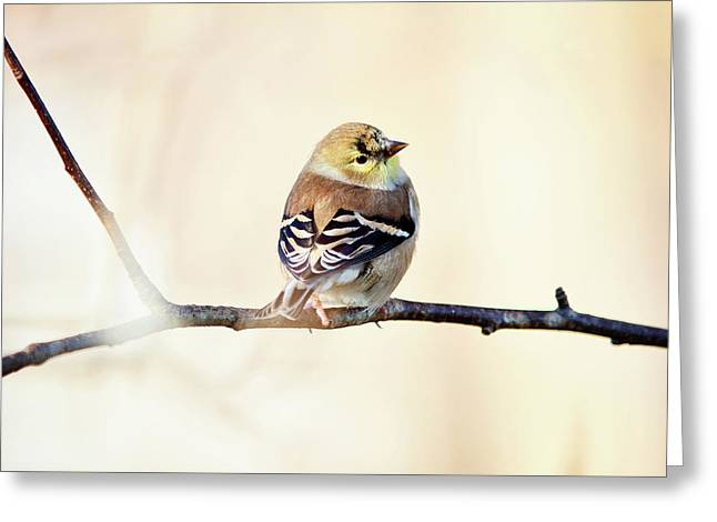 Greeting Card featuring the photograph American Goldfinch by Sue Collura
