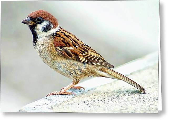 Greeting Card featuring the photograph American Tree Sparrow by Anthony Dezenzio