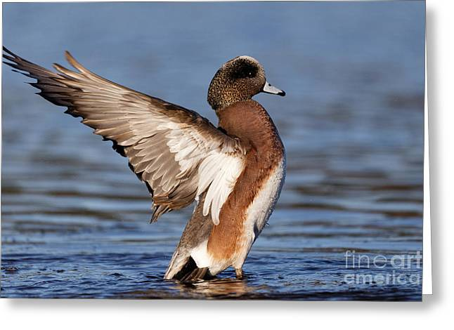 American Wigeon Delight Greeting Card
